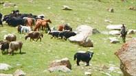 Мохнатые коровы